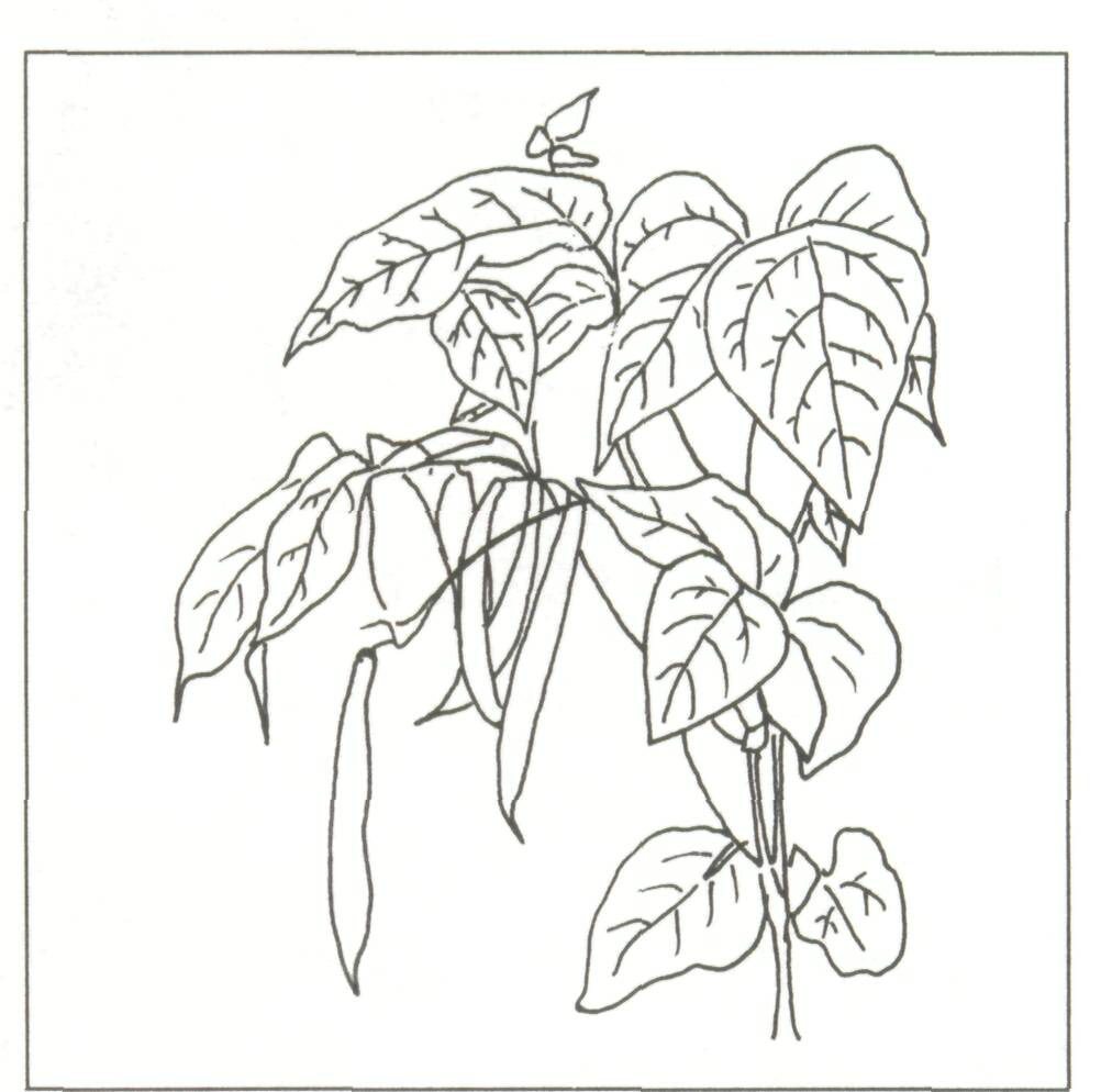 Beans Plant Drawing Bean Plant Drawing Figure