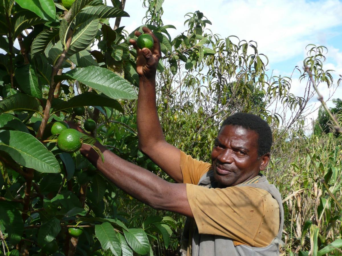 Incorporating trees into farming systems helps to diversify income