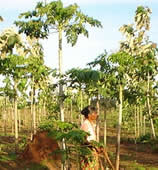 Agroforestry comes of age