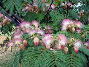 Agrofostree species profile detail of masses of pink puff ball shaped feathery and silky flowers borne above the foliage mightylinksfo