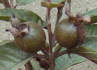 Im Malaysian Red Guava Fruits