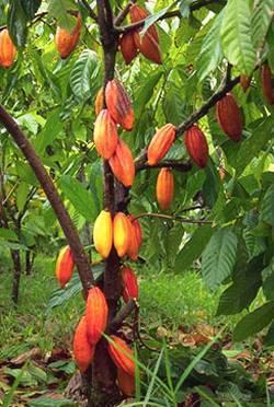 Growing Cocoa